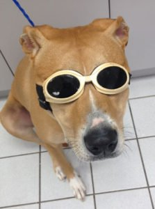 A dog wearing sunglasses ready for his laser therapy