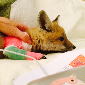 A baby fox that has had surgery